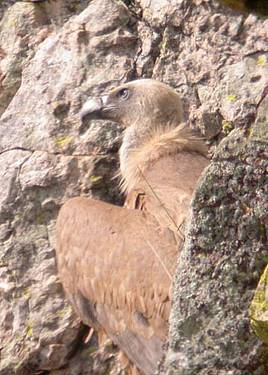 Griffon_Vulture_adult.jpg